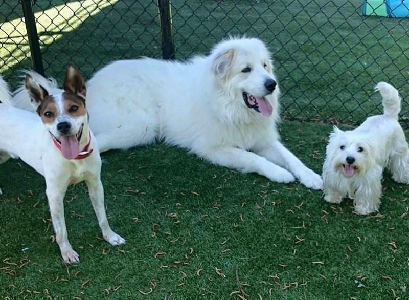 rpr white dogs